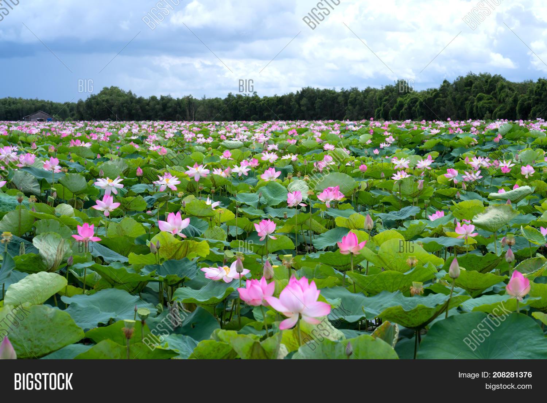 Panorama Lotus Ponds Image Photo Free Trial Bigstock
