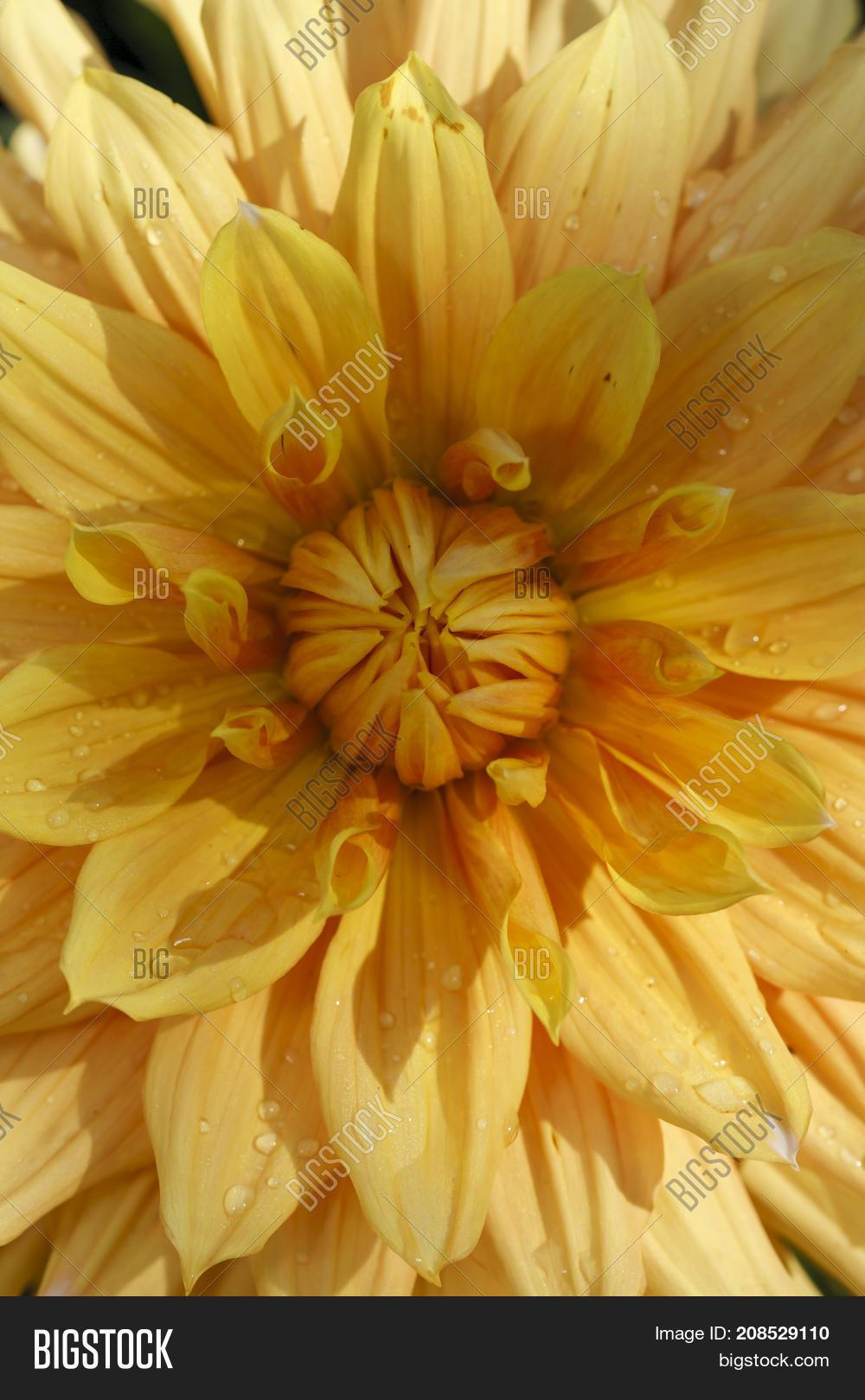 Inside Yellow Dahlia Image Photo Free Trial Bigstock
