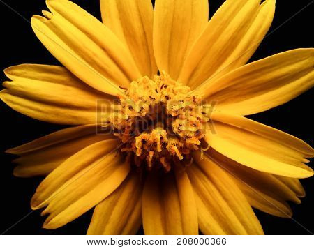 High angle and close up image of yellow daisy flower isolate on black background High contrast