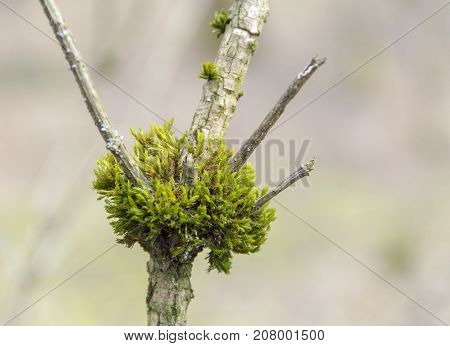 macro shot of a mossy overgrown crotch and twigs