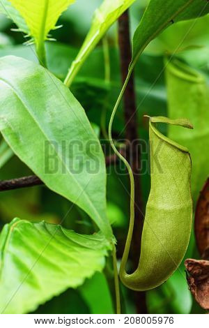 Insectivorous plants Nepenthes Ampullaria on nature background in garden
