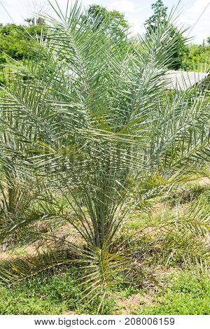 small date palm tree in agriculture, tropical tree