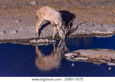 A greater kudu Tragelaphus strepsiceros drinking water at a waterhole in Northern Namibia during blue hour after sunset. Its reflection is visible on the water