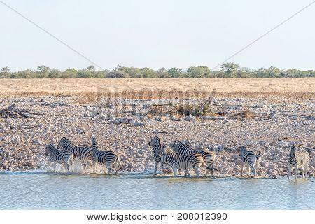 Burchells zebras Equus quagga burchellii at a waterhole in Northern Namibia at sunset