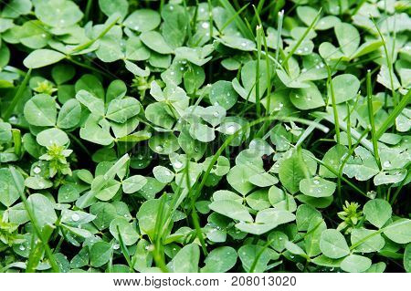 A green grass clover weed background with nobody.