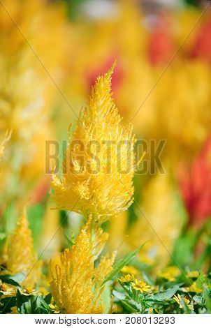 Pampas Plume Celosia Mix plants blooming and full bloom