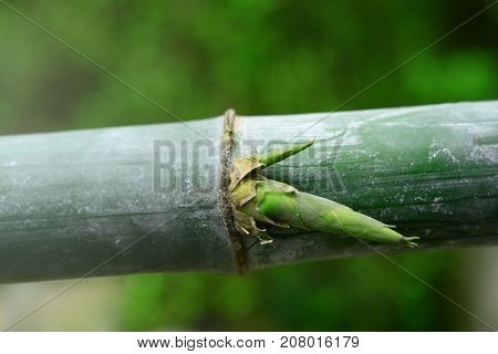 fresh green young bamboo with baby bamboo on joints