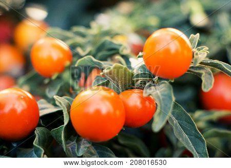 Closeup on small orange berries in autumn.