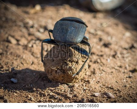 African dung scarab beetle or Scarabaeus sacer rolling his dung ball, Chobe National Park, Botswana, Southern Africa.