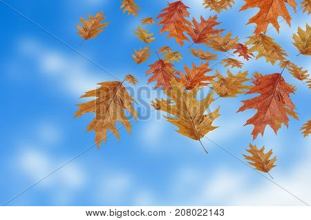 Colored autumn leaves falling down on blur sky background