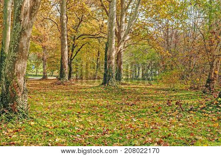 City Park Forest, trees with ivy close