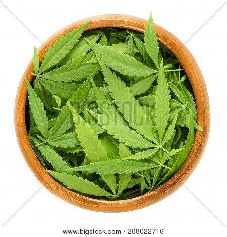 Cannabis fan leaves in wooden bowl. Fresh hemp leaves of Cannabis ruderalis. Low THC species used as tea and in traditional folk medicine. Isolated macro photo close up from above on white background.