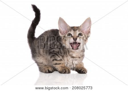 funny tabby kitten meowing on white background
