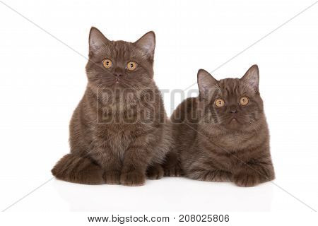 two brown british shorthair kittens on white background