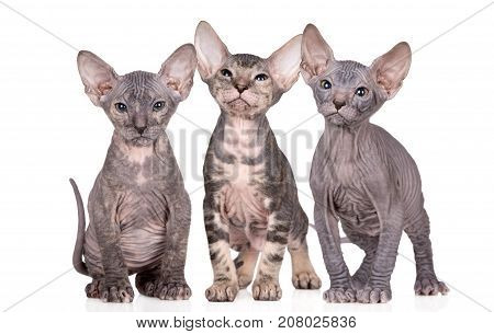 three beautiful sphynx kittens posing together on white