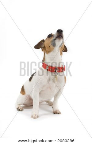 Jack Russell'S Looking Up