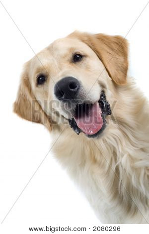 Golden Retriever'S Portrait