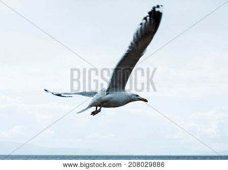 Big seagull with huge beak and wings flying or soaring over the lake baikal. Marine landscape with flying gull bird over the stormy sea