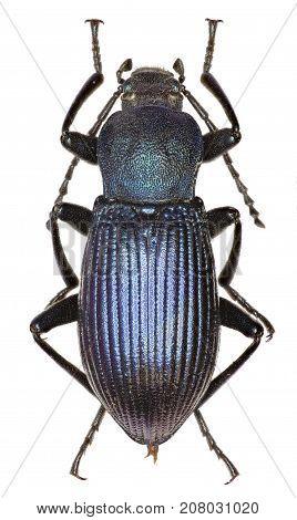 Darkling Beetle Helops on white Background - Helops rossii (Germar 1817)