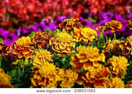 Horizontal shot of yellow round flowers in the flowerbed.