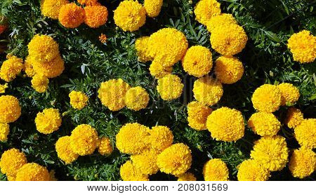 Yellow flowers on a city flowerbed.