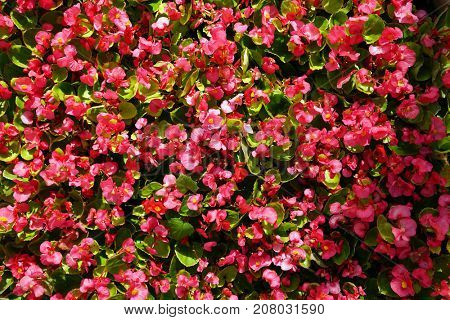 Red small flowers with bright green leaves, city flowerbed.