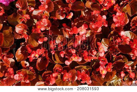 General view of red small flowers in the flowerbed.