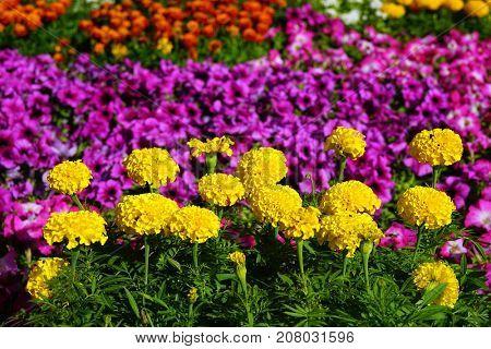 Large yellow globular flowers, background of lilac plants.
