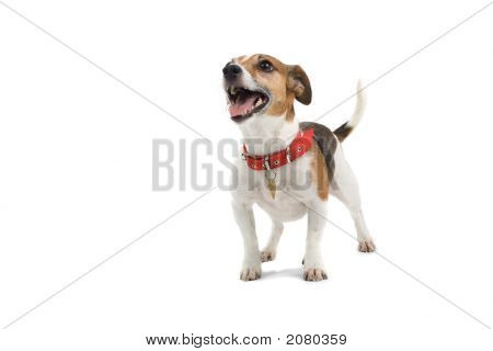 jack russel terrier standing isolated on a white background poster