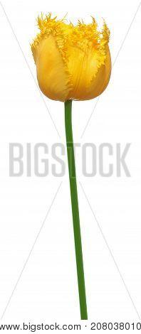 Yellow fringed tulip flower isolated on white background