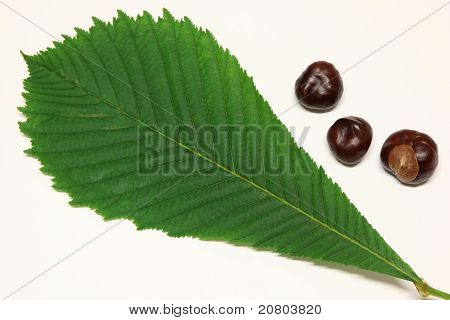 Horse-chestnut and leaf