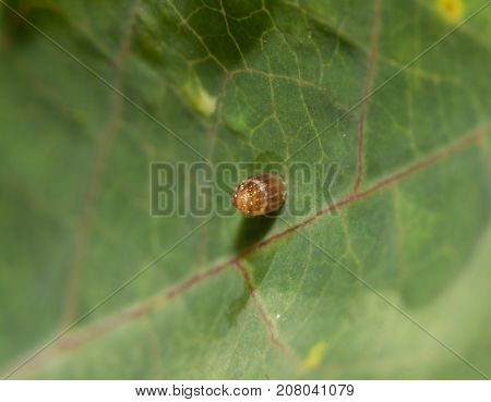 Gulf Fritillary butterfly egg on a Passionvine leaf