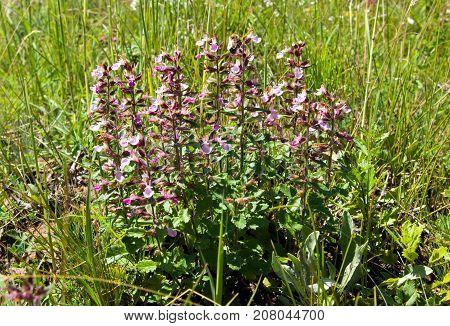Fresh blooming basil is Ayurvedic medicinal herb