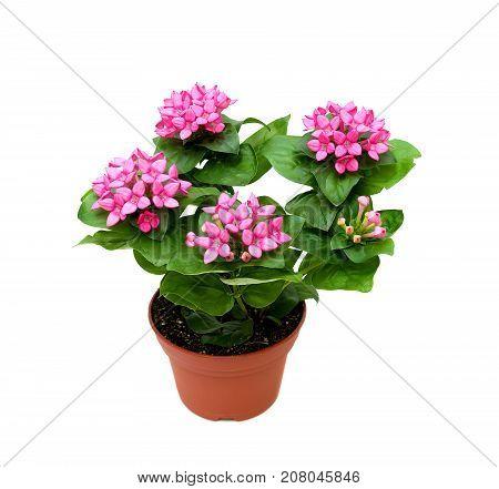 Bouvardia indoor plants isolated on a white background. horizontal photo.