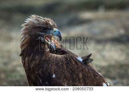 Young golden eagle in the Mongolian steppe.