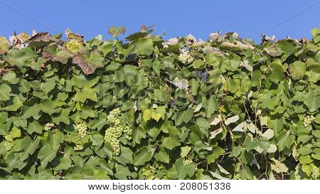 Beautiful tasty green and black grapes growing on a vine outdoors against a blue sky on a sunny day