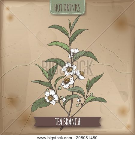 Color sketch of tea plant aka tea Camellia sinensis branch with leaves and flowers. Hot drinks collection. Great for cafe, bars, tea ads.