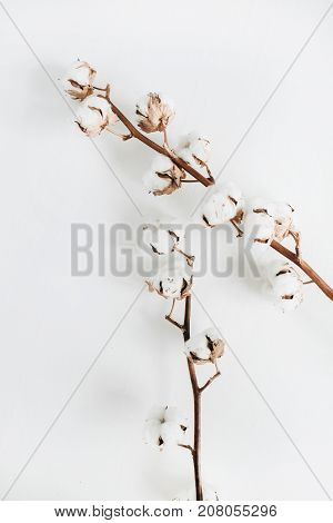 Two cotton branches on white background. Flat lay top view.