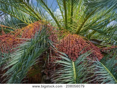 Date palm with ripe fruits against the sky