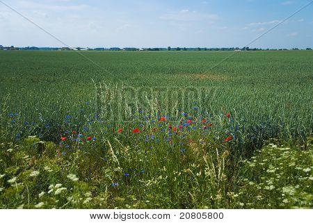 Rote Mohn am Ende Wildblumen wachsen in einem Roggen-Feld