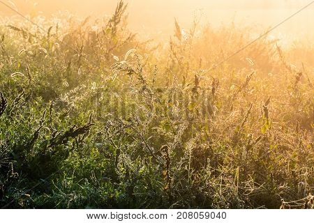 Beautiful dew shine on a overgrown weed herb plant in a mystic fog on a fresh autumn dawn and mist full of bright sunlight as a fall season background