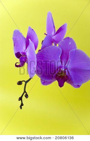 lila Orchidee auf gelbem Hintergrund isoliert