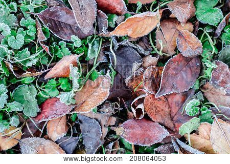 Frozen grass and dry leaves under the frost ice as autumn and winter background concept