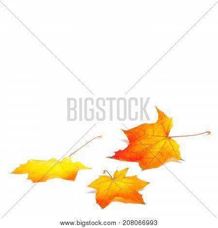 Isolated autumn season, eaves on white background