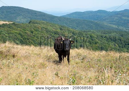 Livestock farming in the mountains. Ecological breeding of animals.