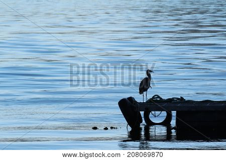 Great Blue Heron waiting on dock for a meal to come swimming by.