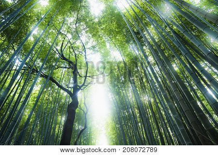 Bamboo grove with dead tree with sun shining through the forest, Kyoto, Japan