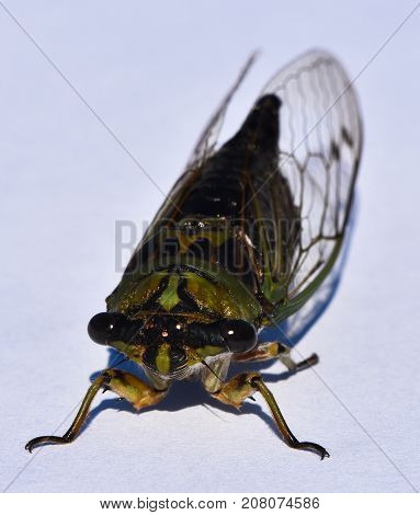 The front view of a Cicada insect.  They are from the Order Hemiptera, the Infraorder Cicadomorpha and the Superfamily Cicadoidea.