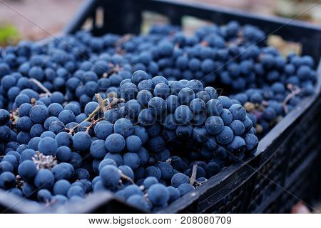 Wine Grape Crate During Grapes Harvesting. Blue Wine Grape In A Plastic Dark Box Against The Backgro
