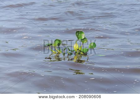 Green aquatic plant floating above river water. Plant known as Aguape. Photo taken in Pantanal Brazil.